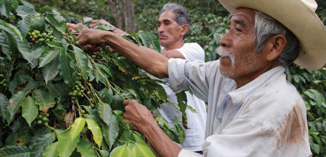 Farmers picking coffee